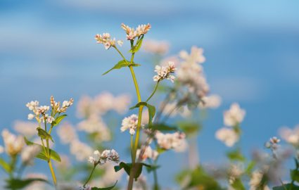 What Is Buckwheat? A very useful plant!
