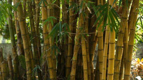 Bamboo growing in the sun