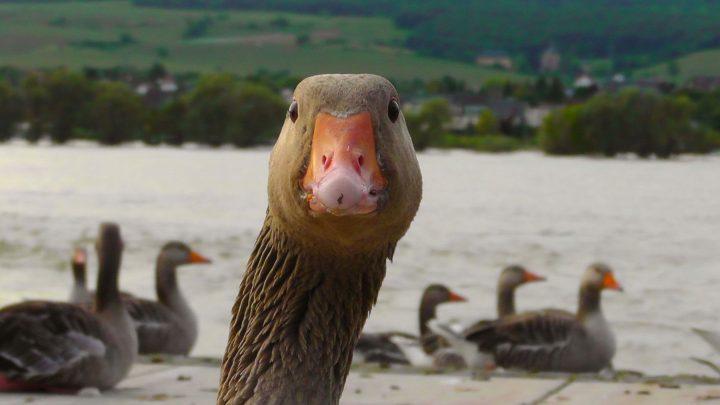 Goose looks at camera